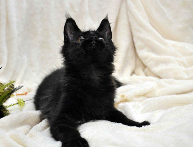 Кот мейн кун кличка IMPERATOR возраст 5 месяцев фото3