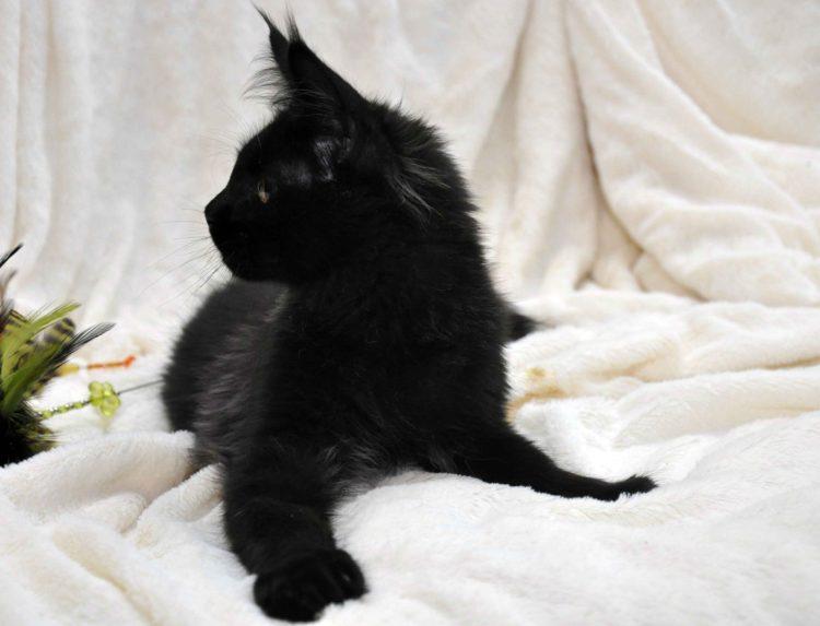 Кот мейн кун кличка IMPERATOR возраст 5 месяцев фото4