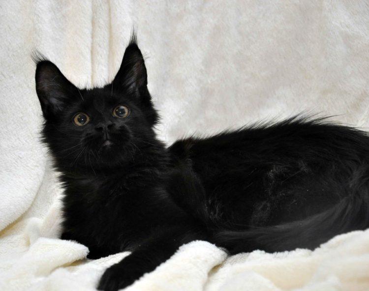 Кот мейн кун кличка IMPERATOR возраст 5 месяцев фото5