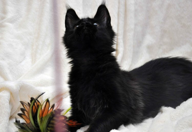 Кот мейн кун кличка IMPERATOR возраст 5 месяцев фото9