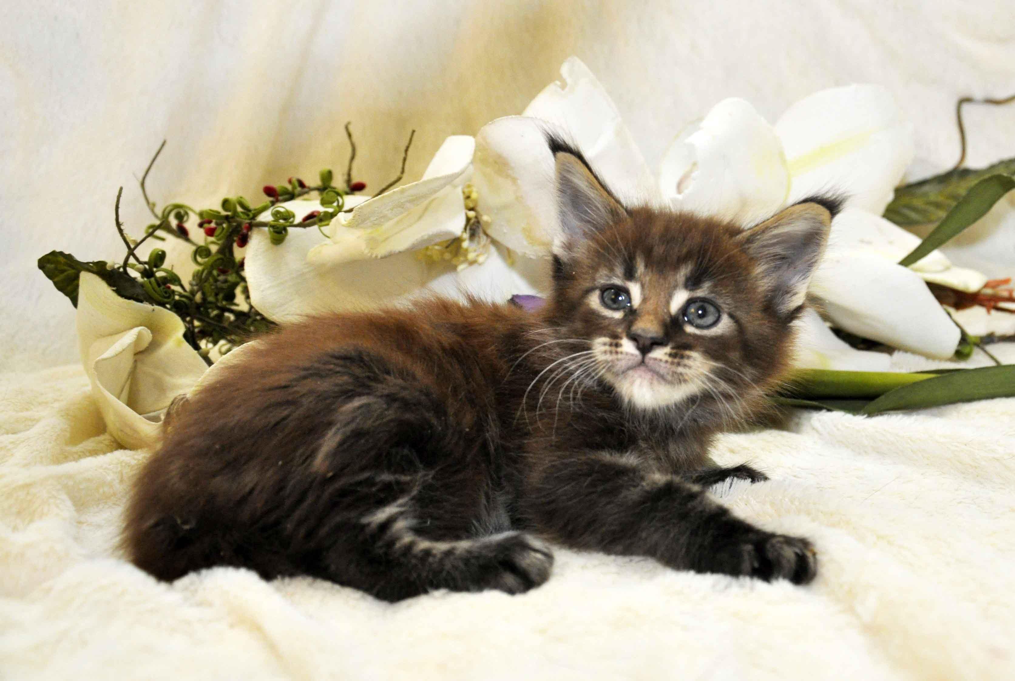 Кот мейн кун 2 4