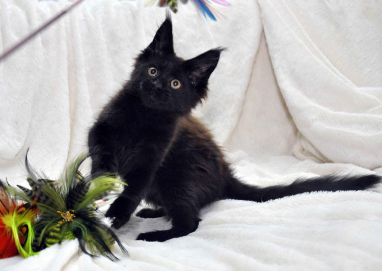 Кот мейн кун JULIOPOLIS возраст 3.5 месяца фото1