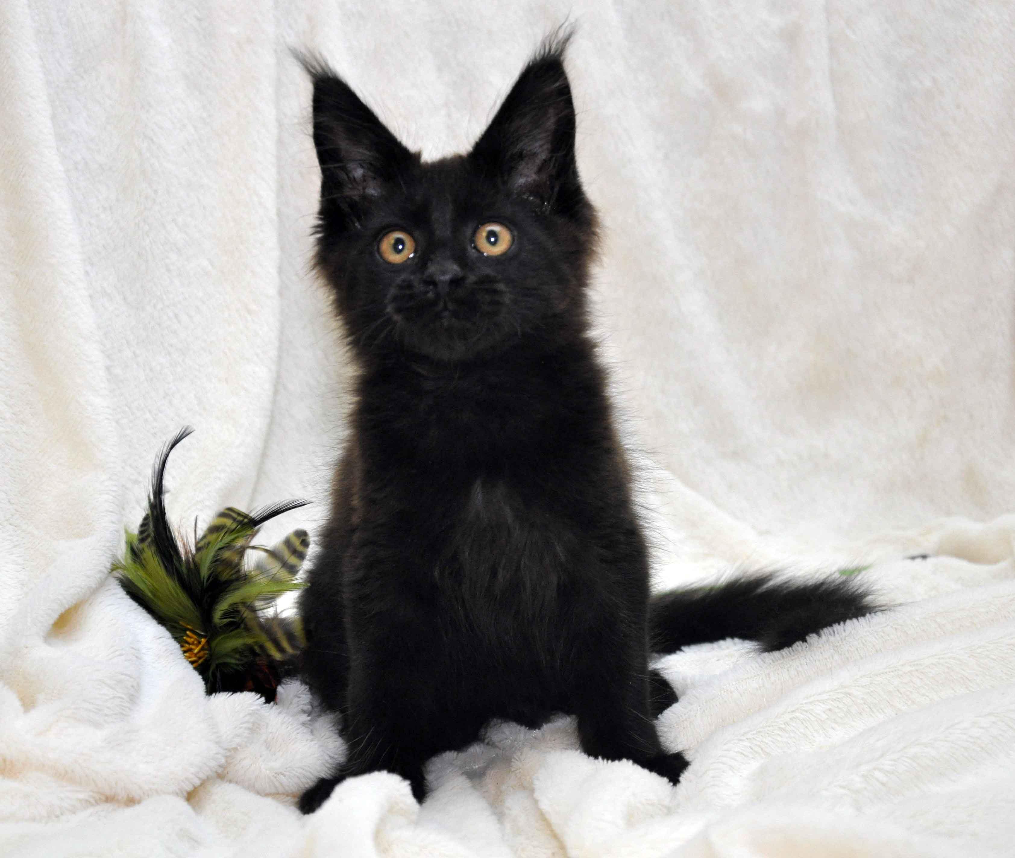 Кот мейн кун JULIOPOLIS возраст 3.5 месяца фото10
