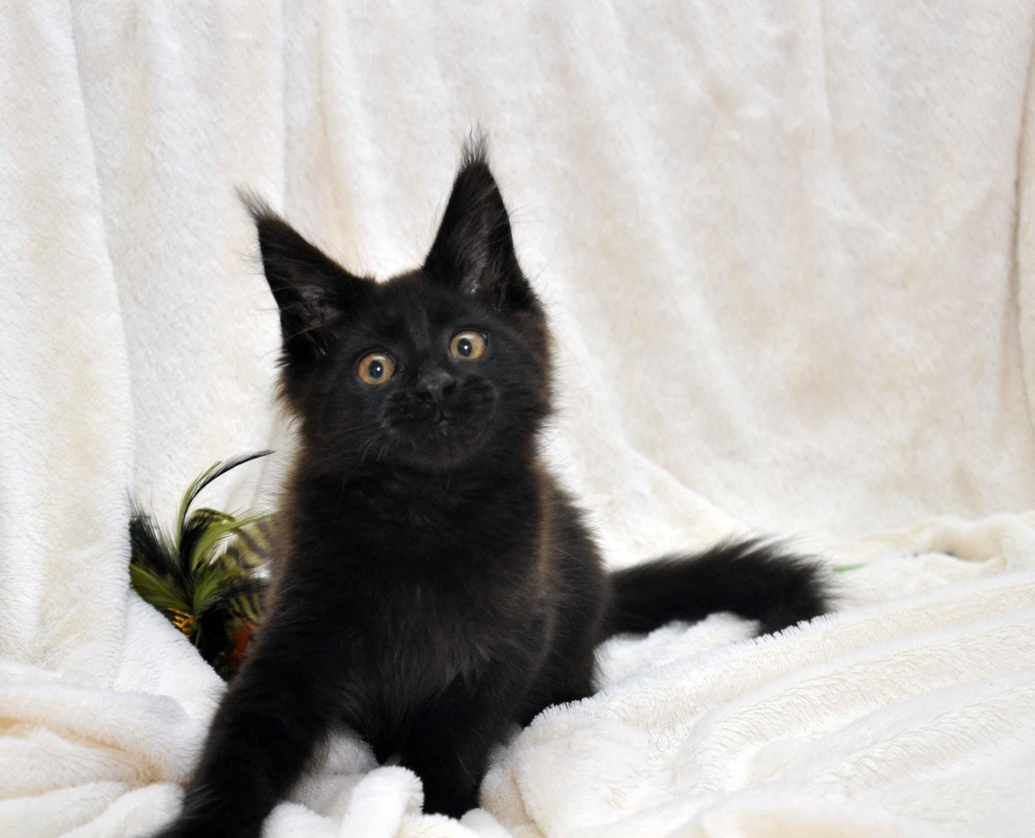 Кот мейн кун JULIOPOLIS возраст 3.5 месяца фото11