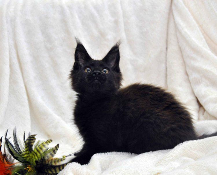 Кот мейн кун JULIOPOLIS возраст 3.5 месяца фото12