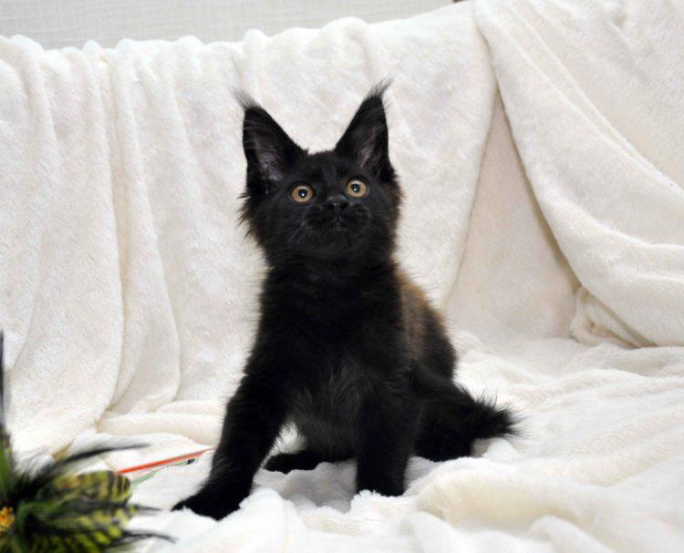 Кот мейн кун JULIOPOLIS возраст 3.5 месяца фото2