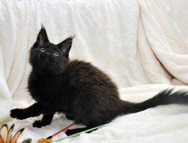 Кот мейн кун JULIOPOLIS возраст 3.5 месяца фото3