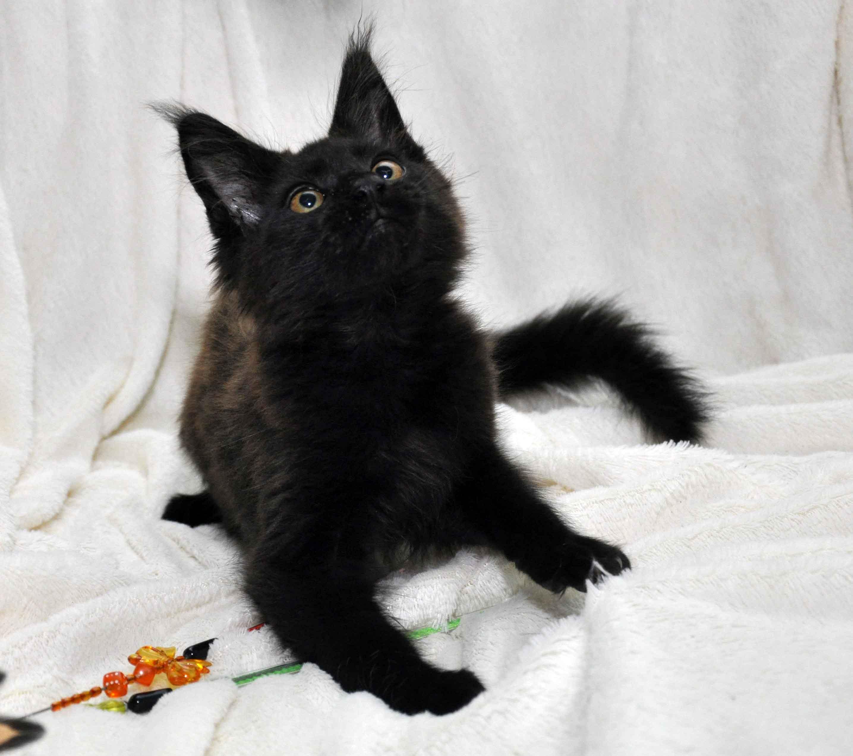 Кот мейн кун JULIOPOLIS возраст 3.5 месяца фото4