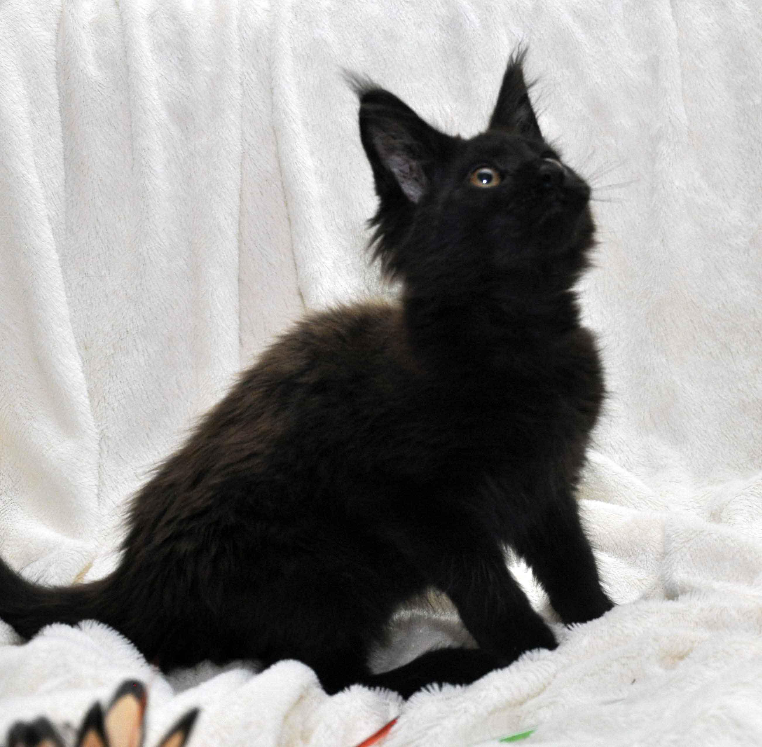 Кот мейн кун JULIOPOLIS возраст 3.5 месяца фото5