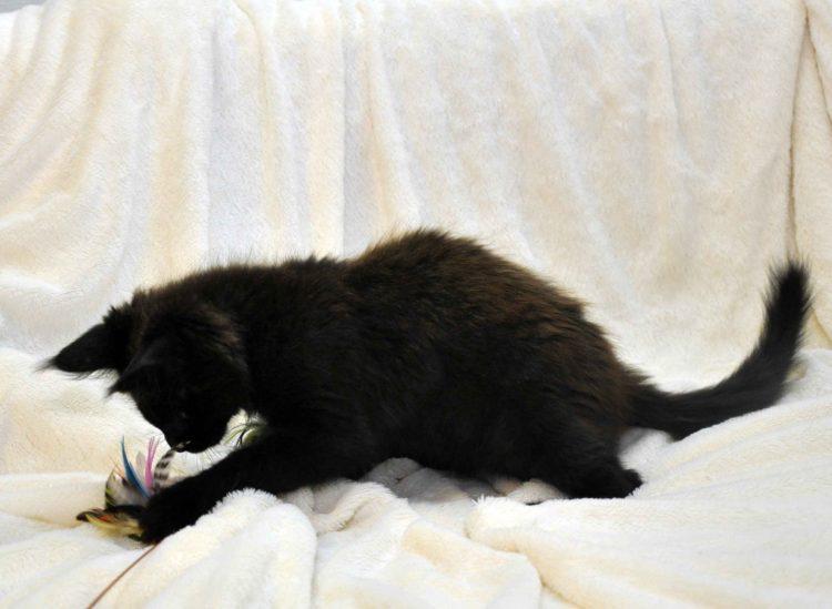 Кот мейн кун JULIOPOLIS возраст 3.5 месяца фото6