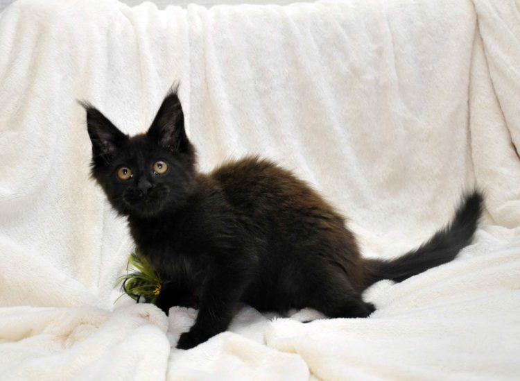 Кот мейн кун JULIOPOLIS возраст 3.5 месяца фото7