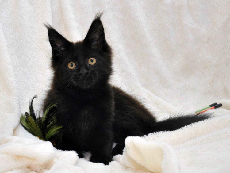 Кот мейн кун JULIOPOLIS возраст 3.5 месяца фото8