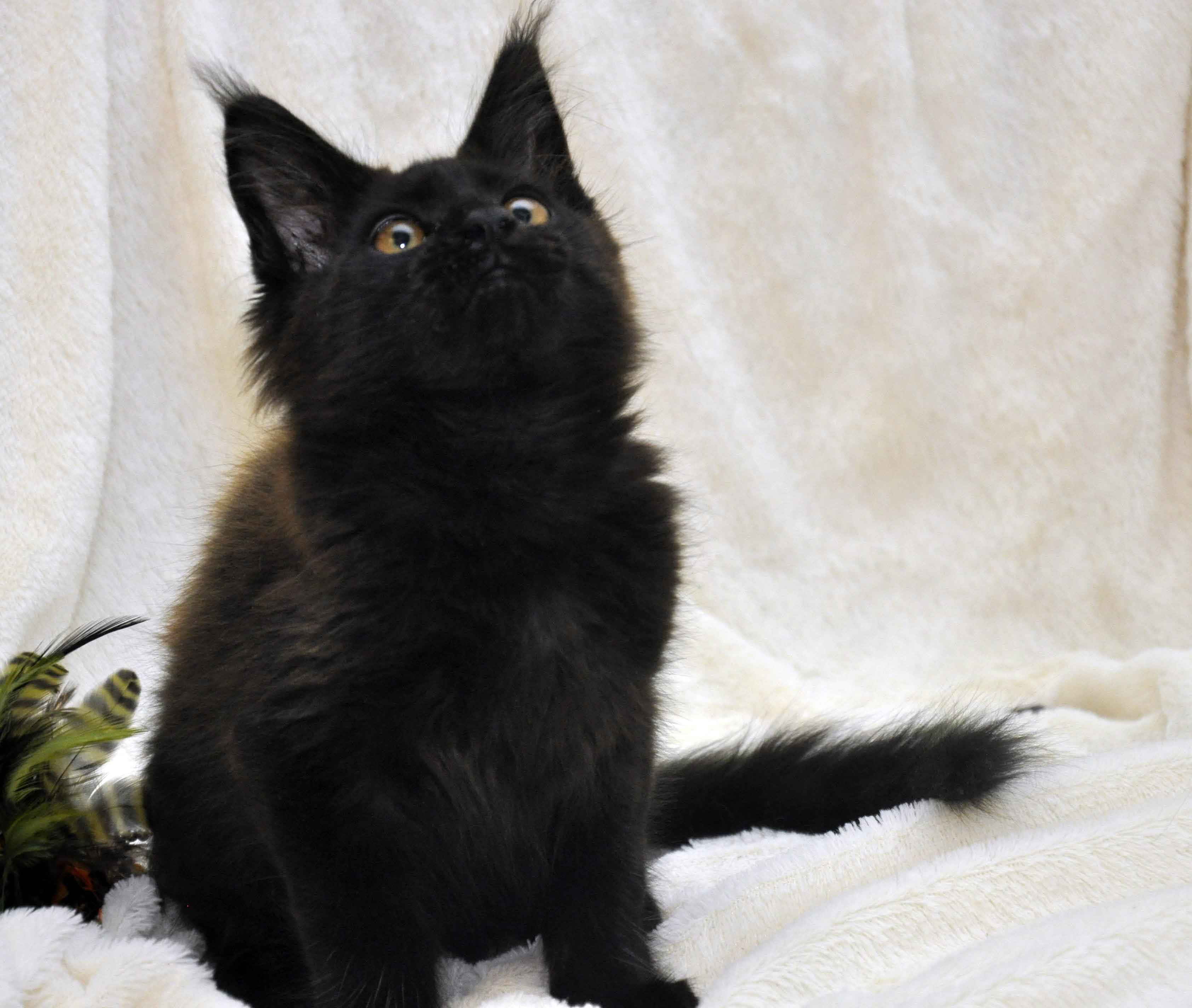 Кот мейн кун JULIOPOLIS возраст 3.5 месяца фото9