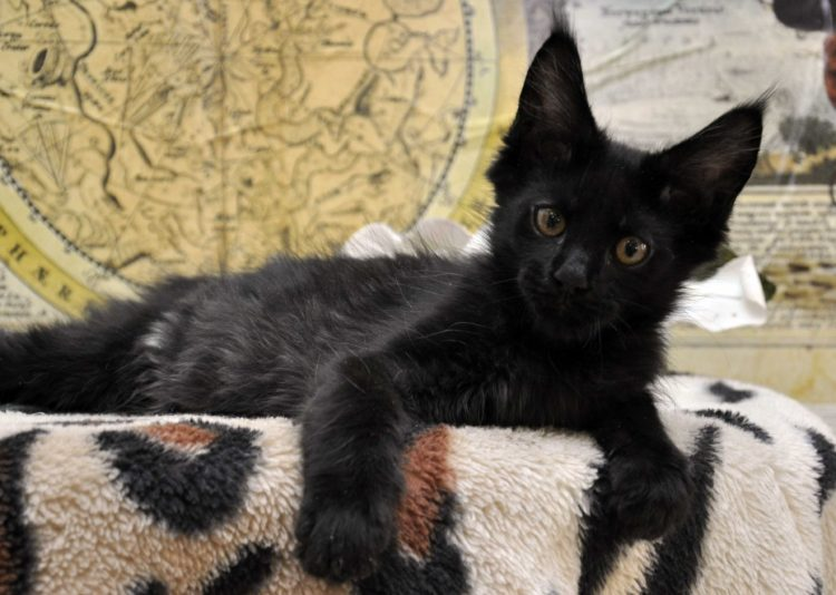 Кот 3 чёрный окрас 3,5 месяца фото
