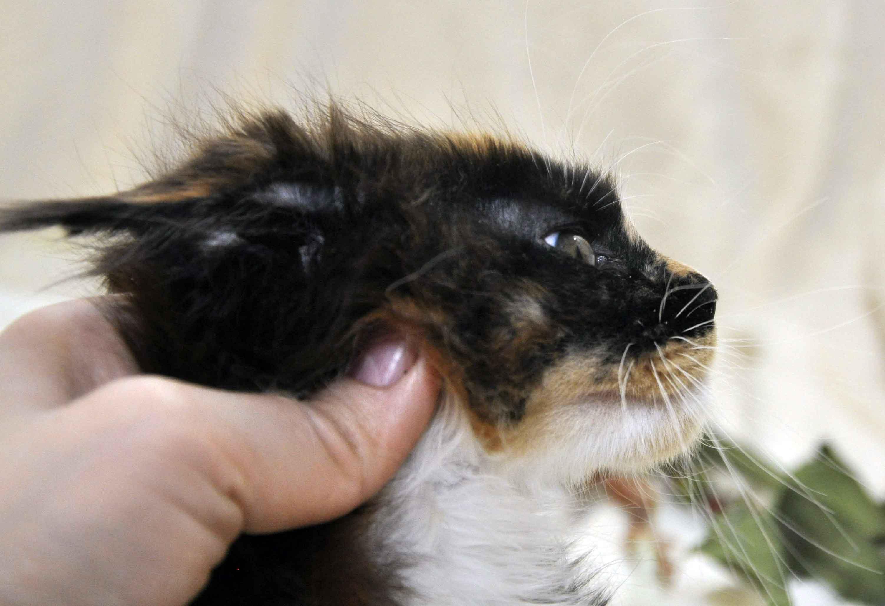 Кошечка Мейн-Кун чёрепахового окраса возраст 3 месяца