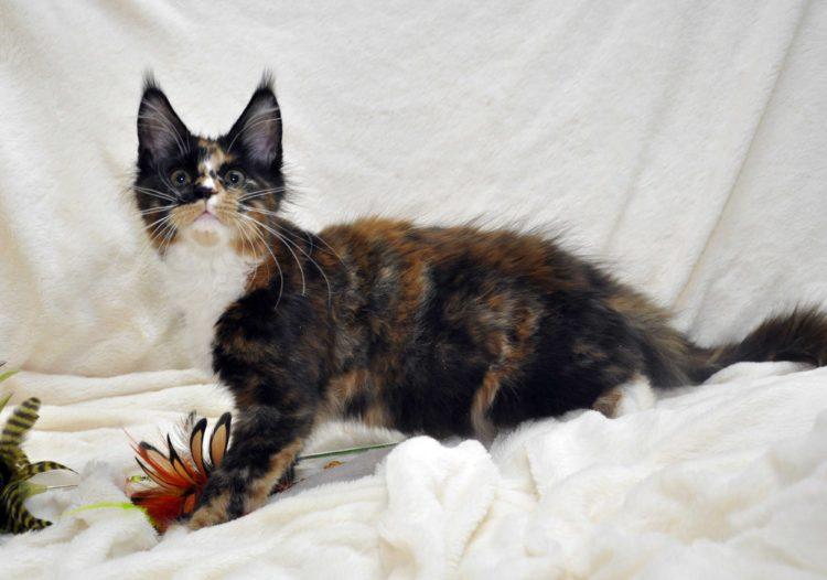 Кошка-1-Мейн-Кун-фото-1