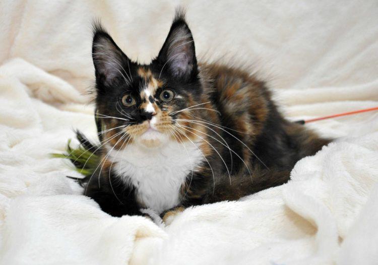 Кошка-1-Мейн-Кун-фото-4