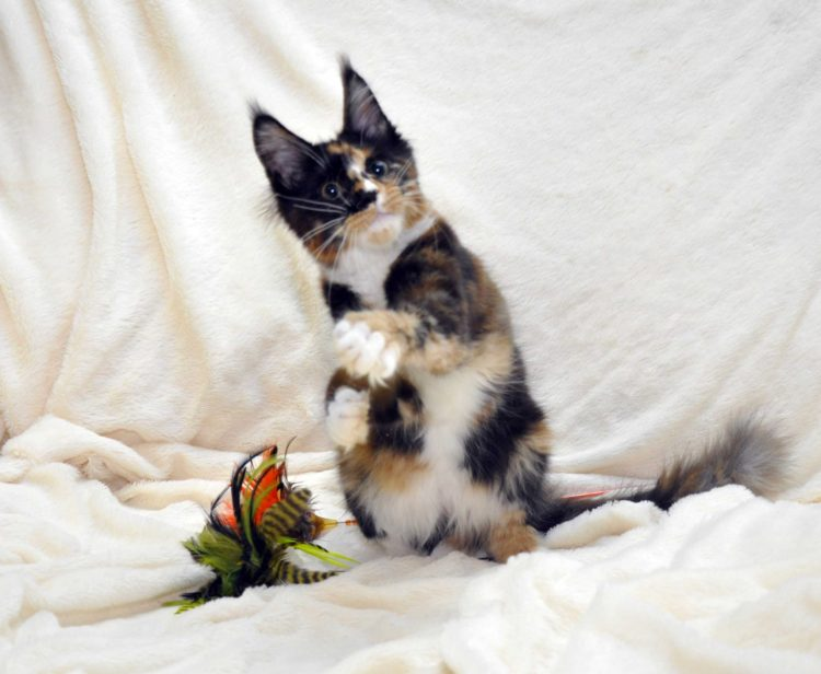 Кошка-1-Мейн-Кун-фото-5