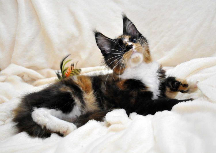Кошка-1-Мейн-Кун-фото-9