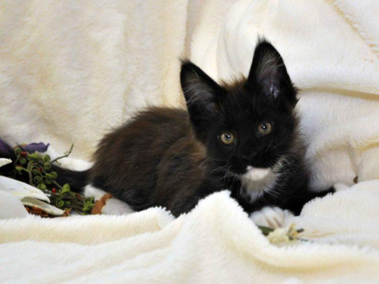 Котик Мейн-Кун биколор возраст 3 месяца
