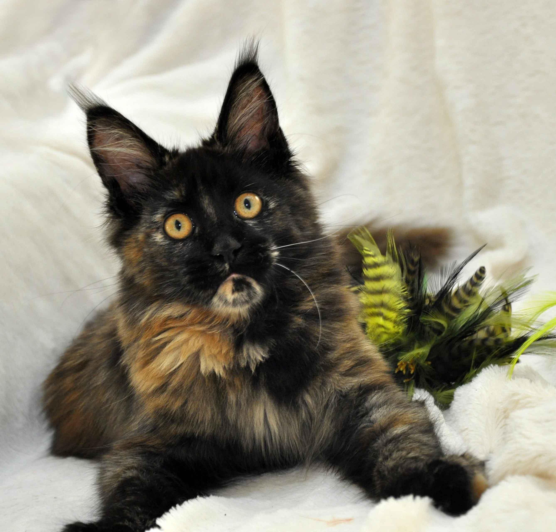кошка мейн-кун помёт J фото 2