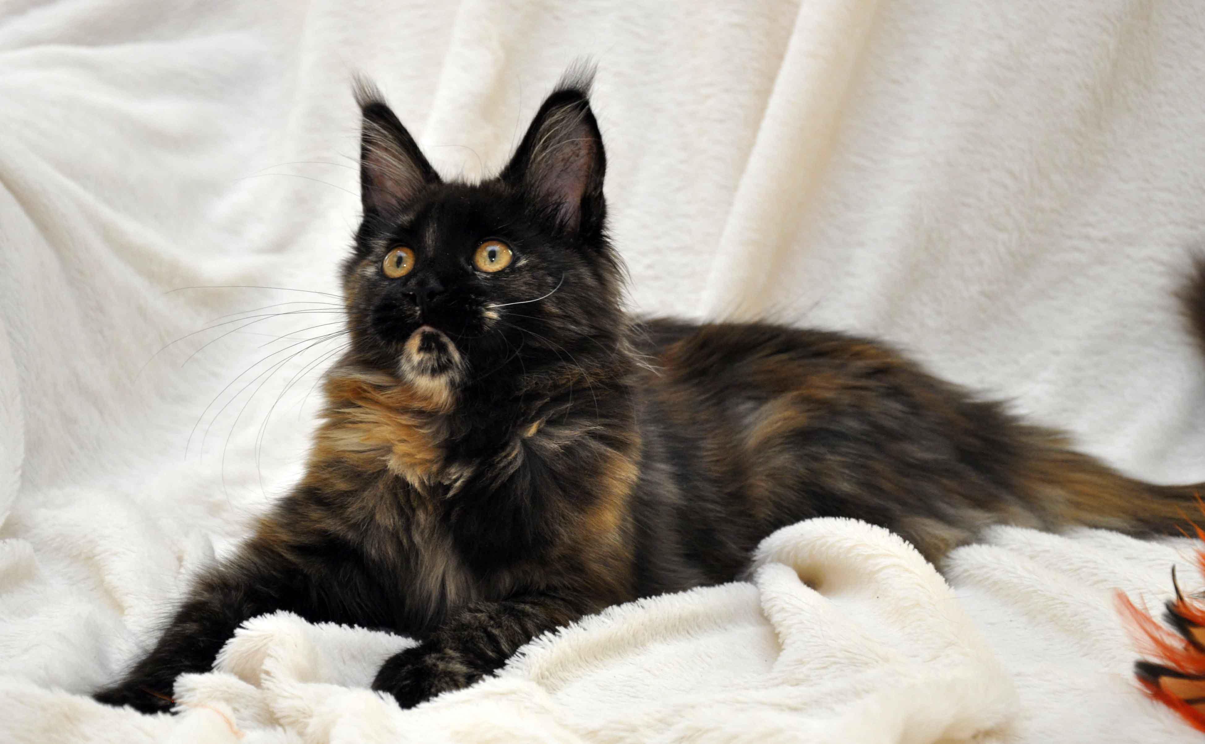 кошка мейн-кун помёт J фото 3