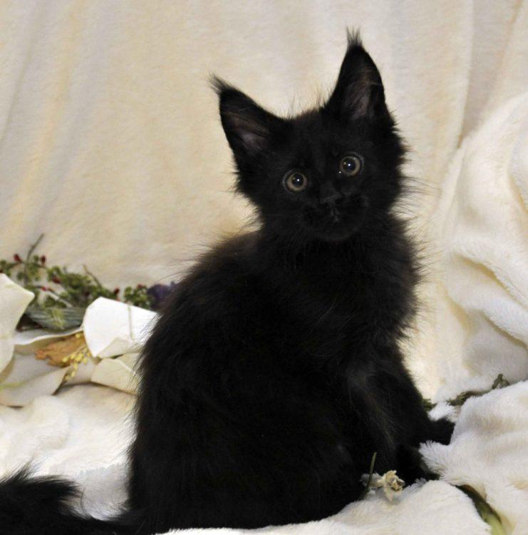 Котик 3 Мейн-Кун чёрного окраса 3 месяца