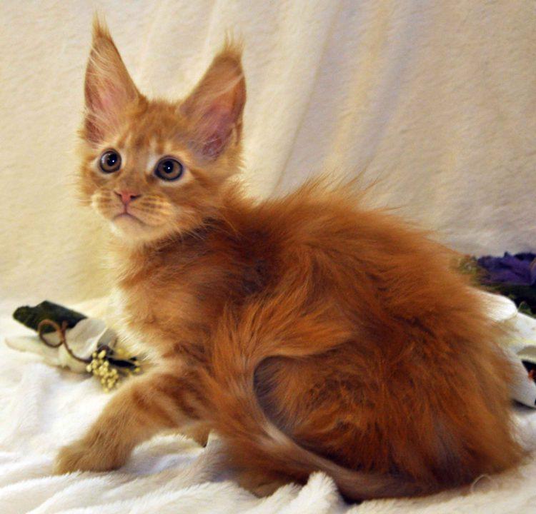 Котик Мейн-Кун красного окраса возраст 3 месяца