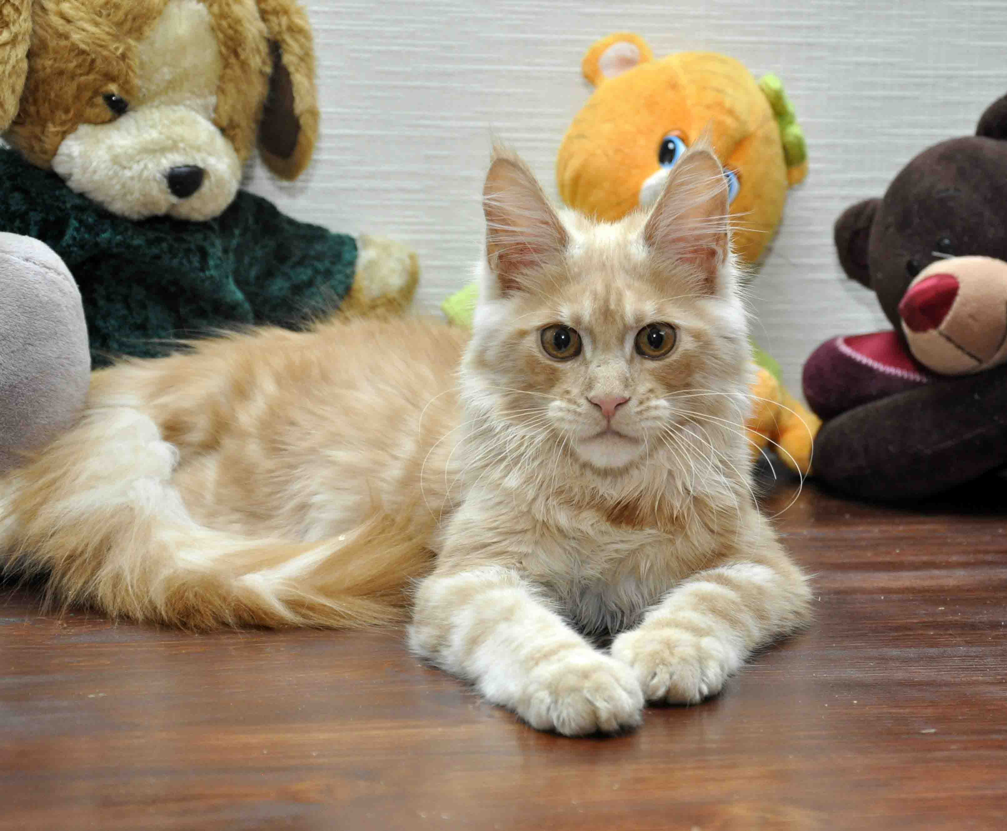 Кот мейн-кун Eyktan KROSS TOP фото 1
