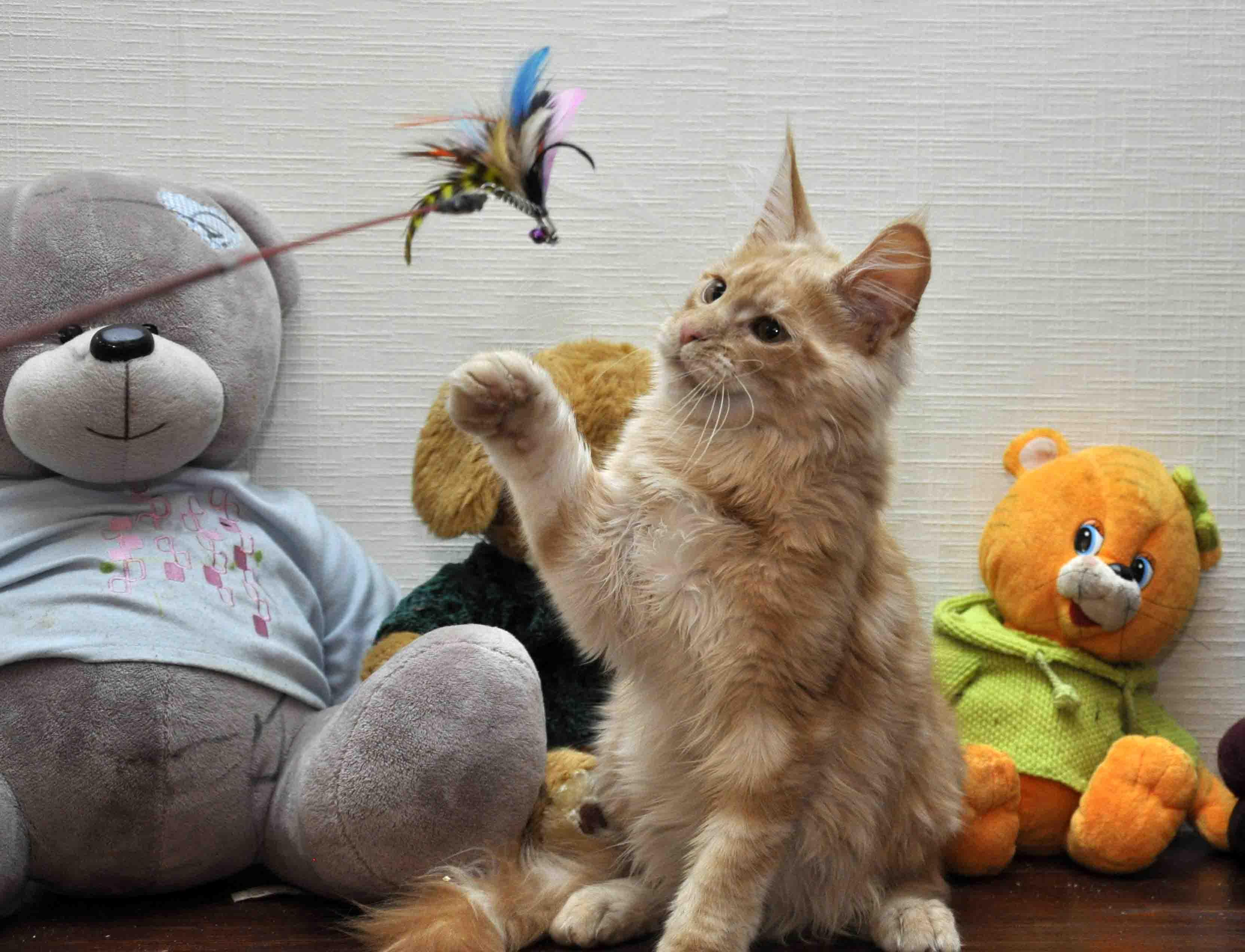 Кот мейн-кун Eyktan KROSS TOP фото 2