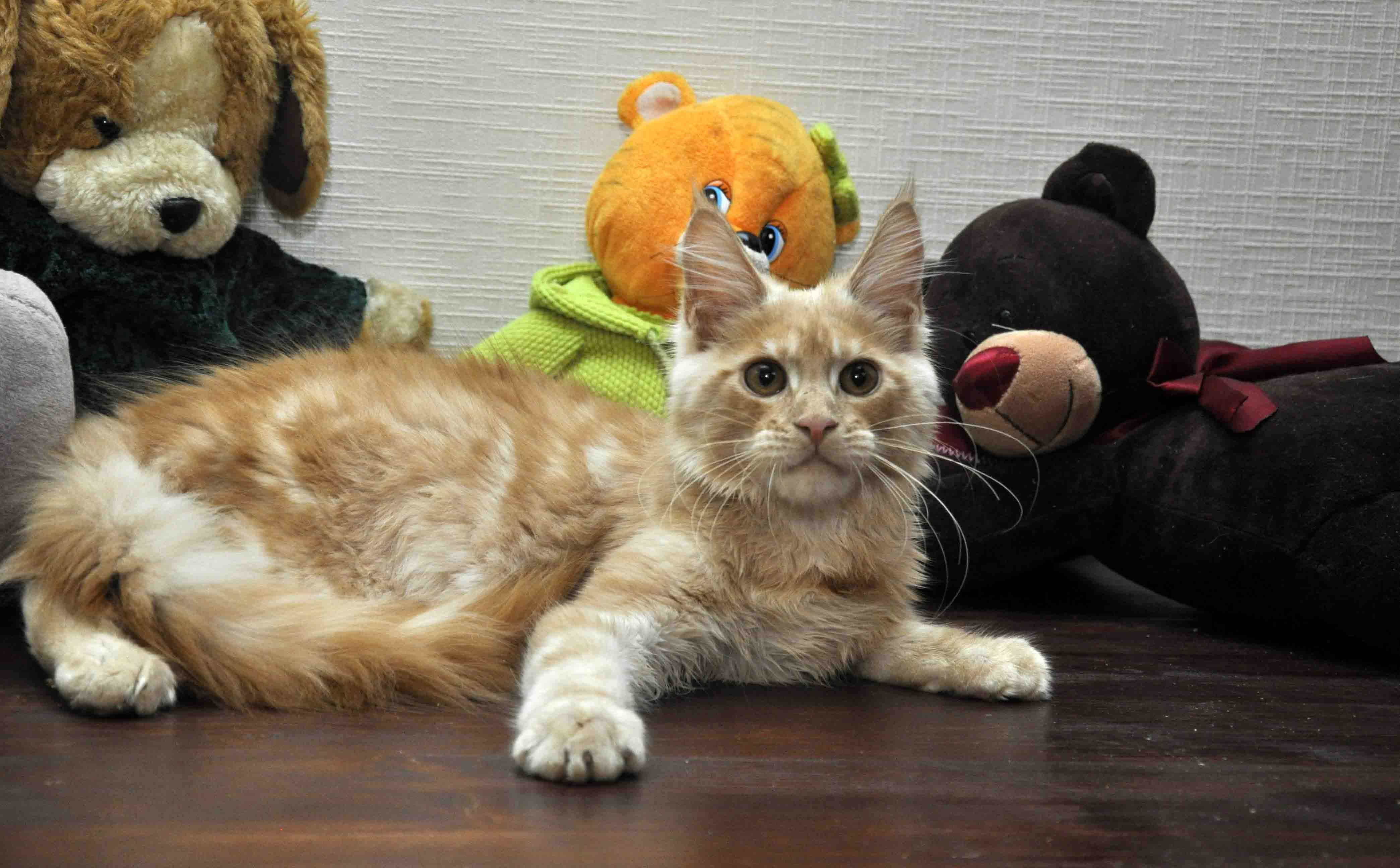 Кот мейн-кун Eyktan KROSS TOP фото 3