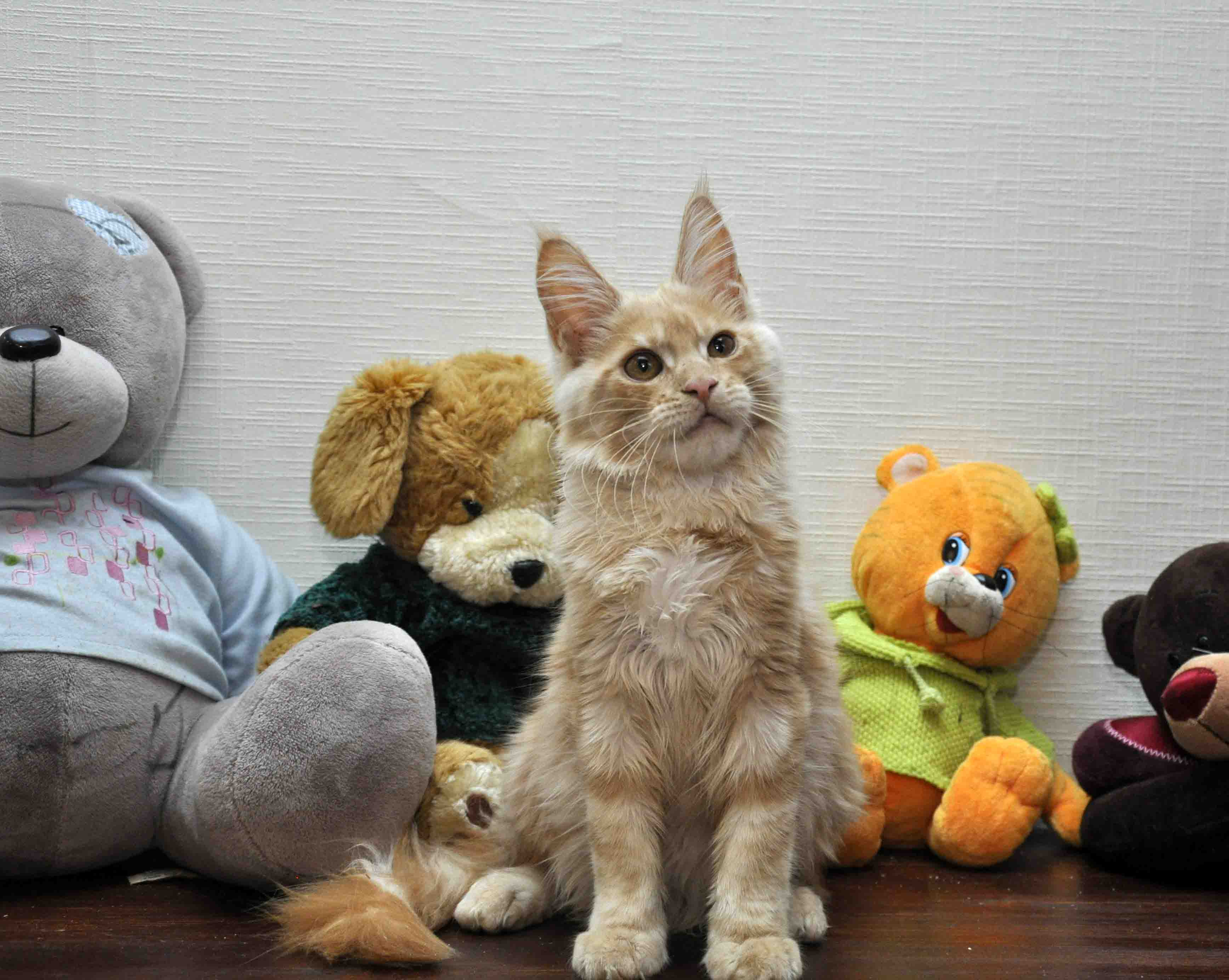 Кот мейн-кун Eyktan KROSS TOP фото 4