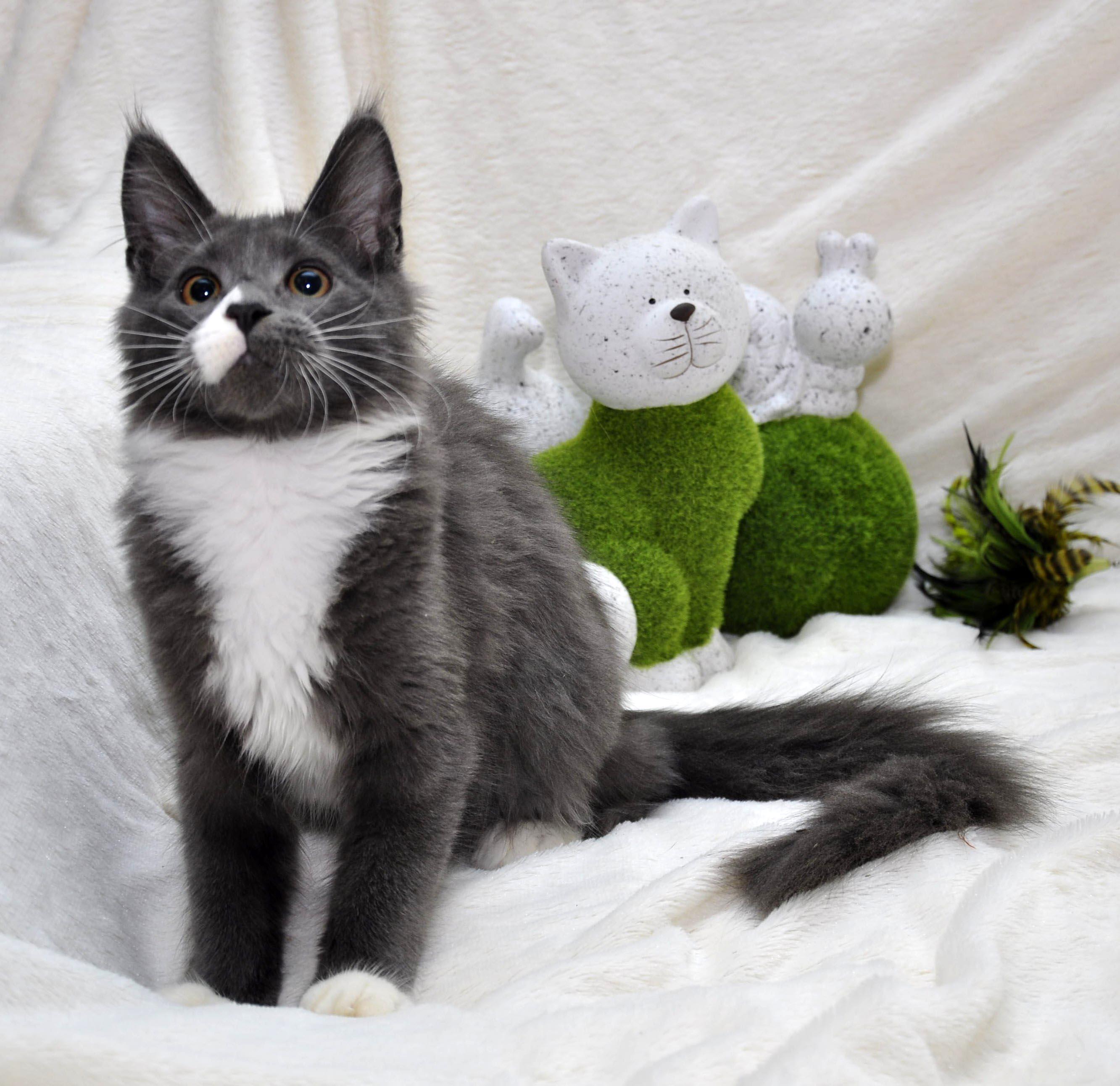 Кошечка мейн кун Eyktan LUNITA 14102017 фото 3