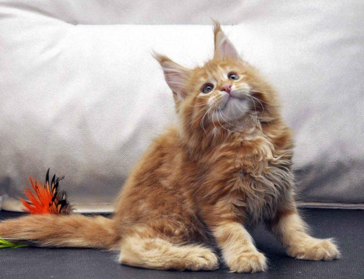Кошка Мейн-Кун 1 помёт К фото 1