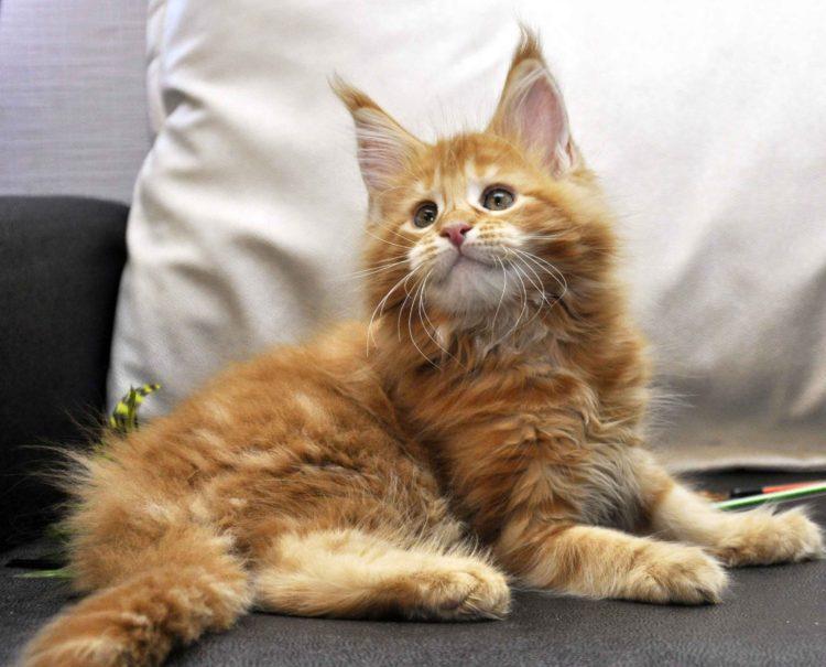 Кошка Мейн-Кун 1 помёт К фото 2