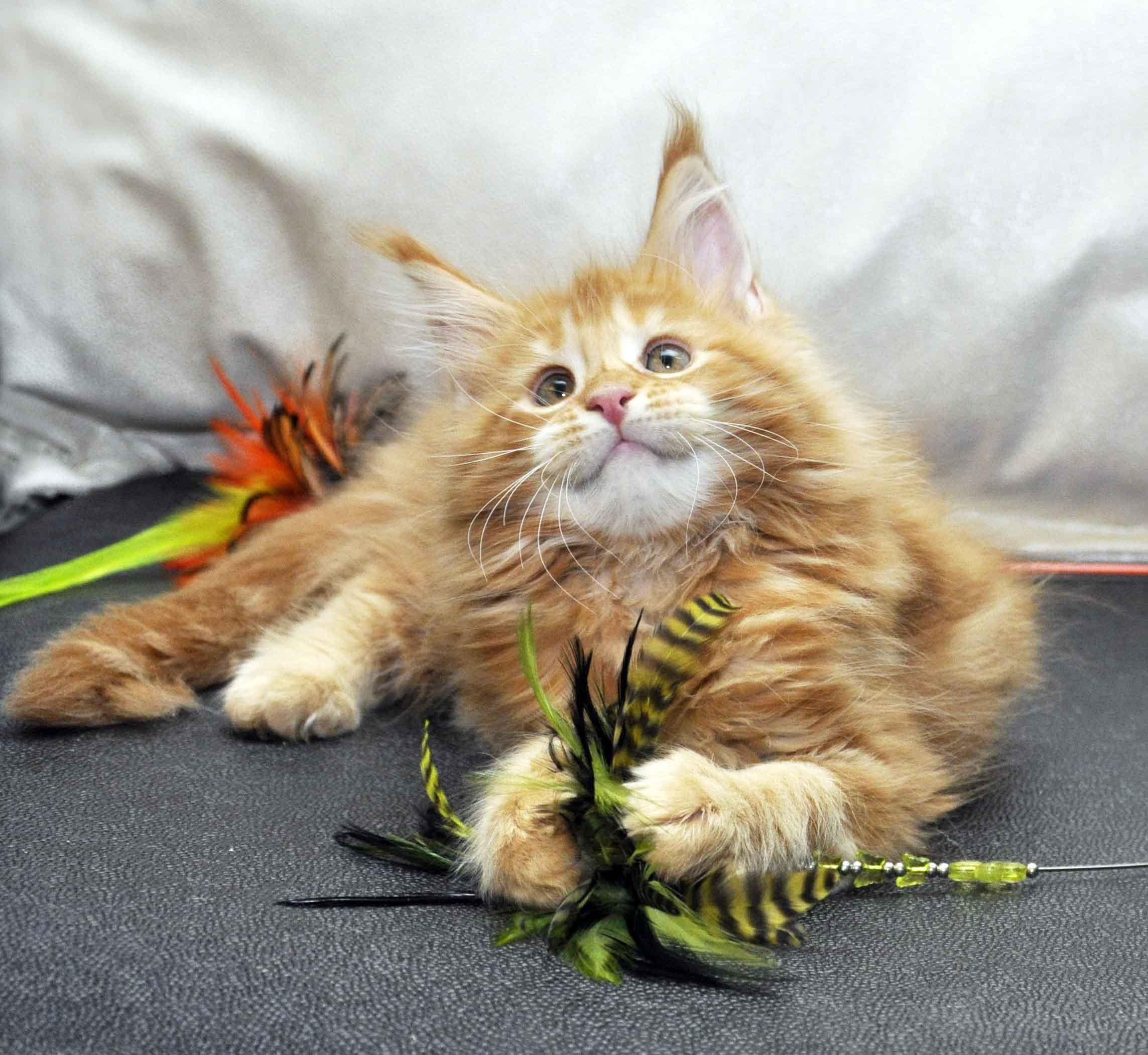 Кошка Мейн-Кун 1 помёт К фото 4