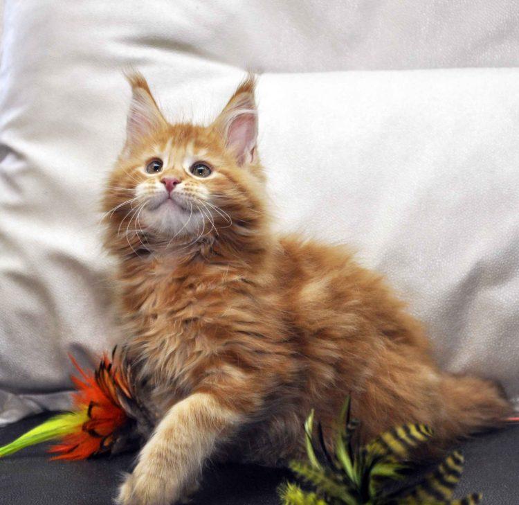 Кошка Мейн-Кун 1 помёт К фото 5