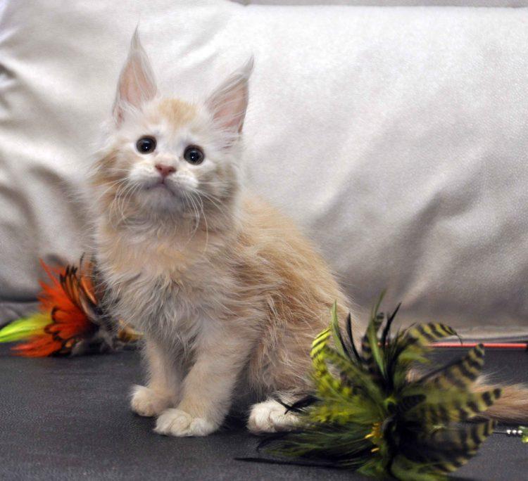Кошка Мейн-Кун 2 помёт К фото 1