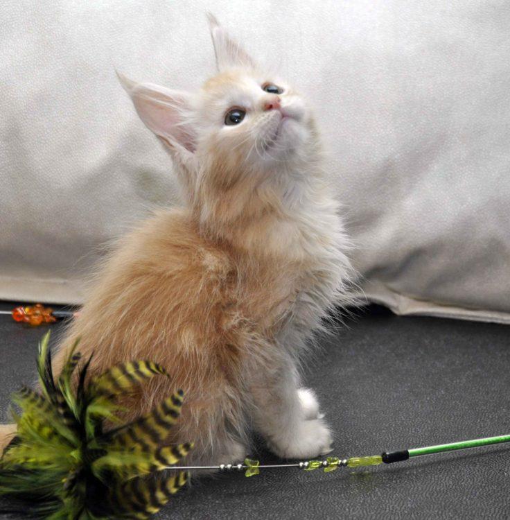 Кошка Мейн-Кун 2 помёт К фото 2