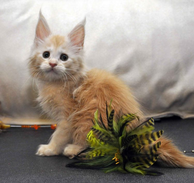 Кошка Мейн-Кун 2 помёт К фото 3