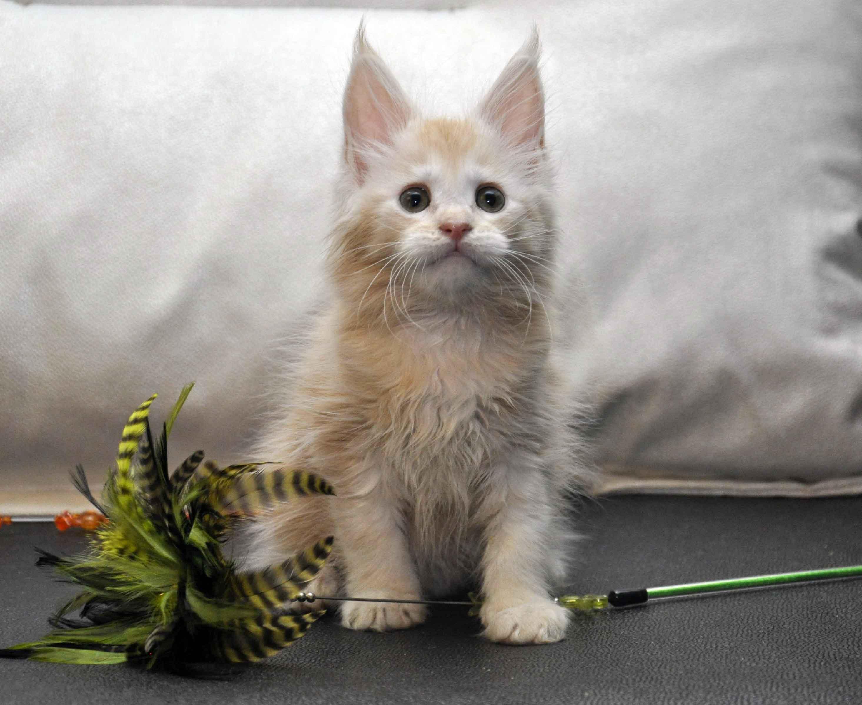 Кошка Мейн-Кун 2 помёт К фото 4