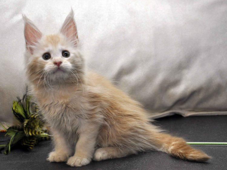 Кошка Мейн-Кун 2 помёт К фото 6