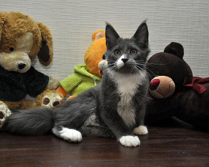 Кошка мейн кун Eyktan LUNITA фото 1