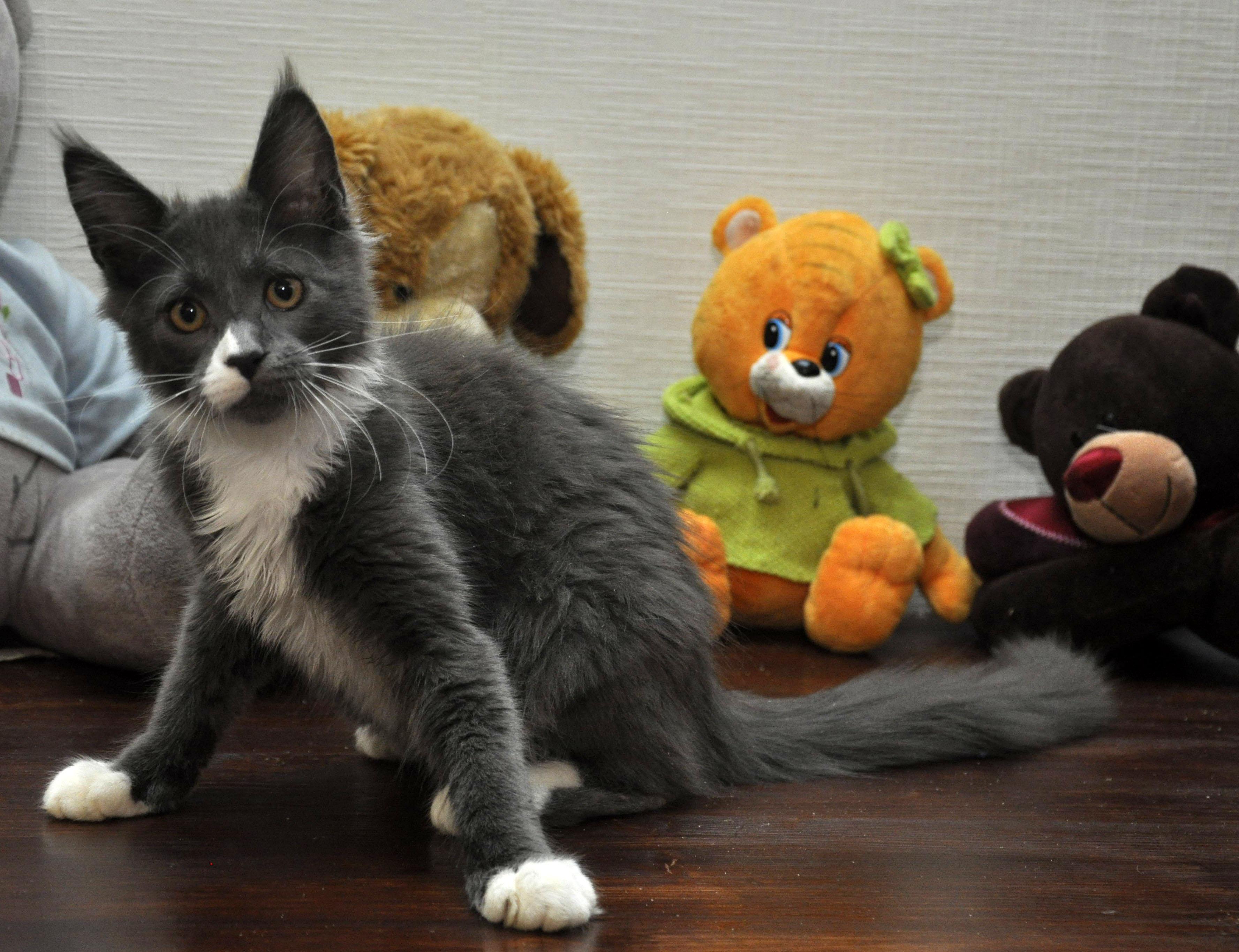 Кошка мейн кун Eyktan LUNITA фото 2