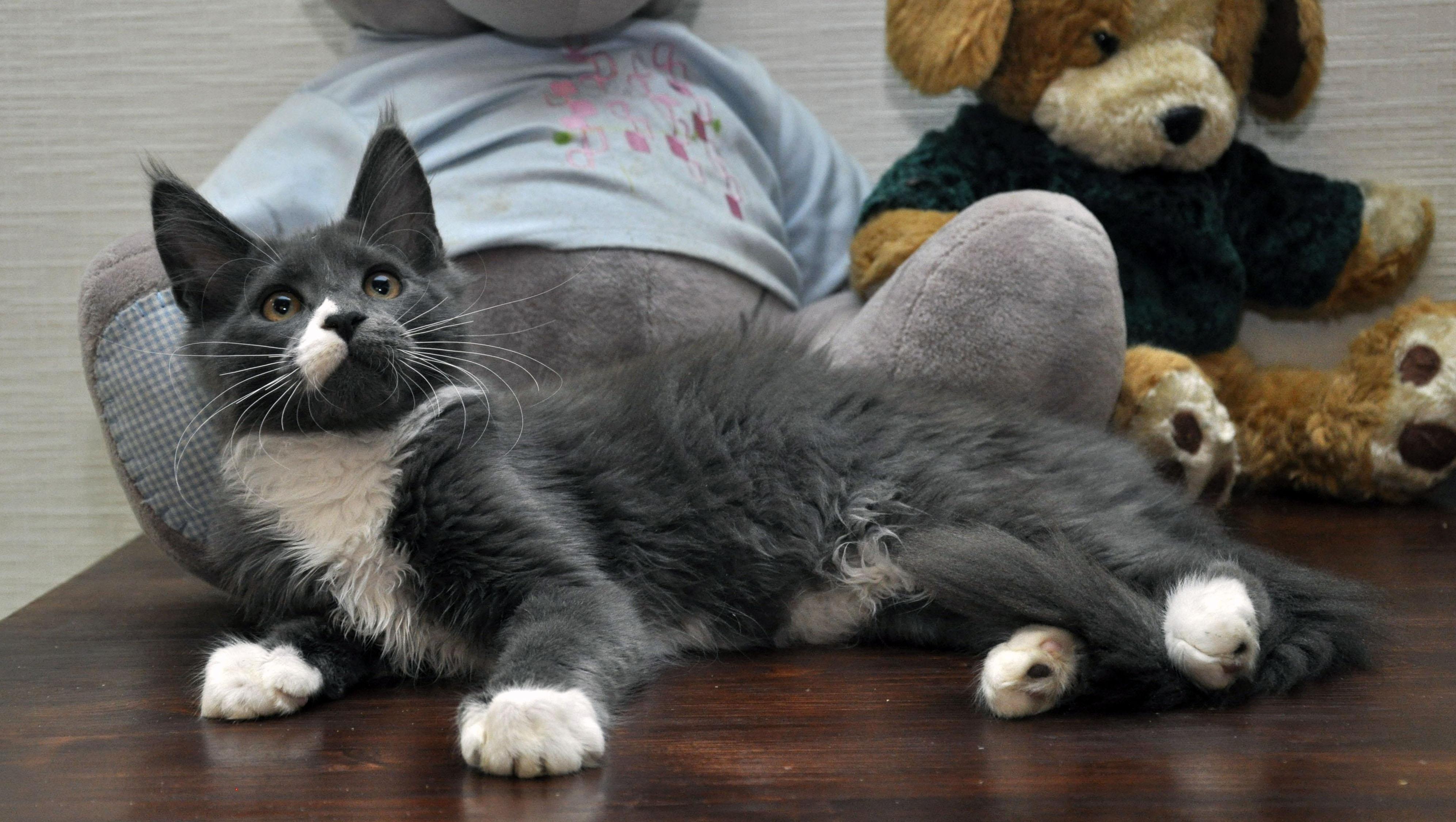 Кошка мейн кун Eyktan LUNITA фото 3