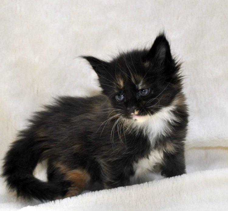 Кошка Maine Coon 2 litter L 3 недели фото 1