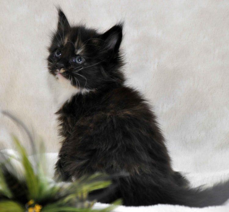 Кошка Maine Coon 2 litter L 3 недели фото 4