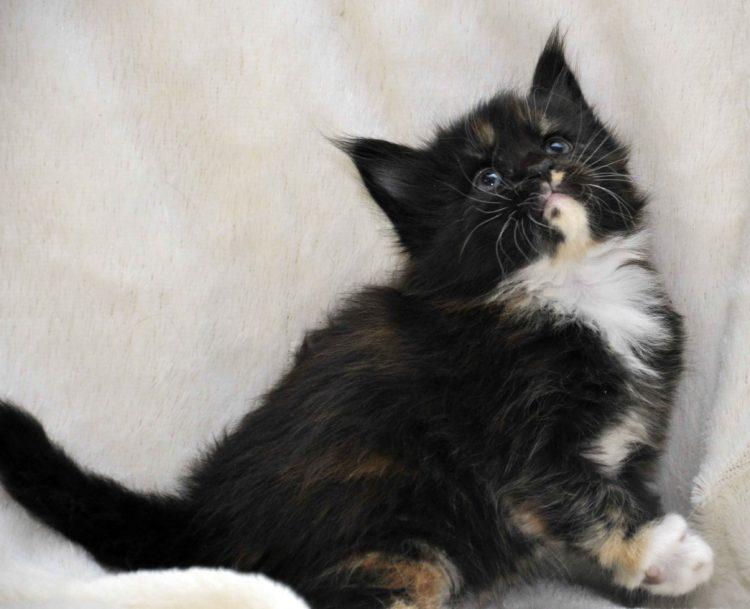 Кошка Maine Coon 2 litter L 3 недели фото 5