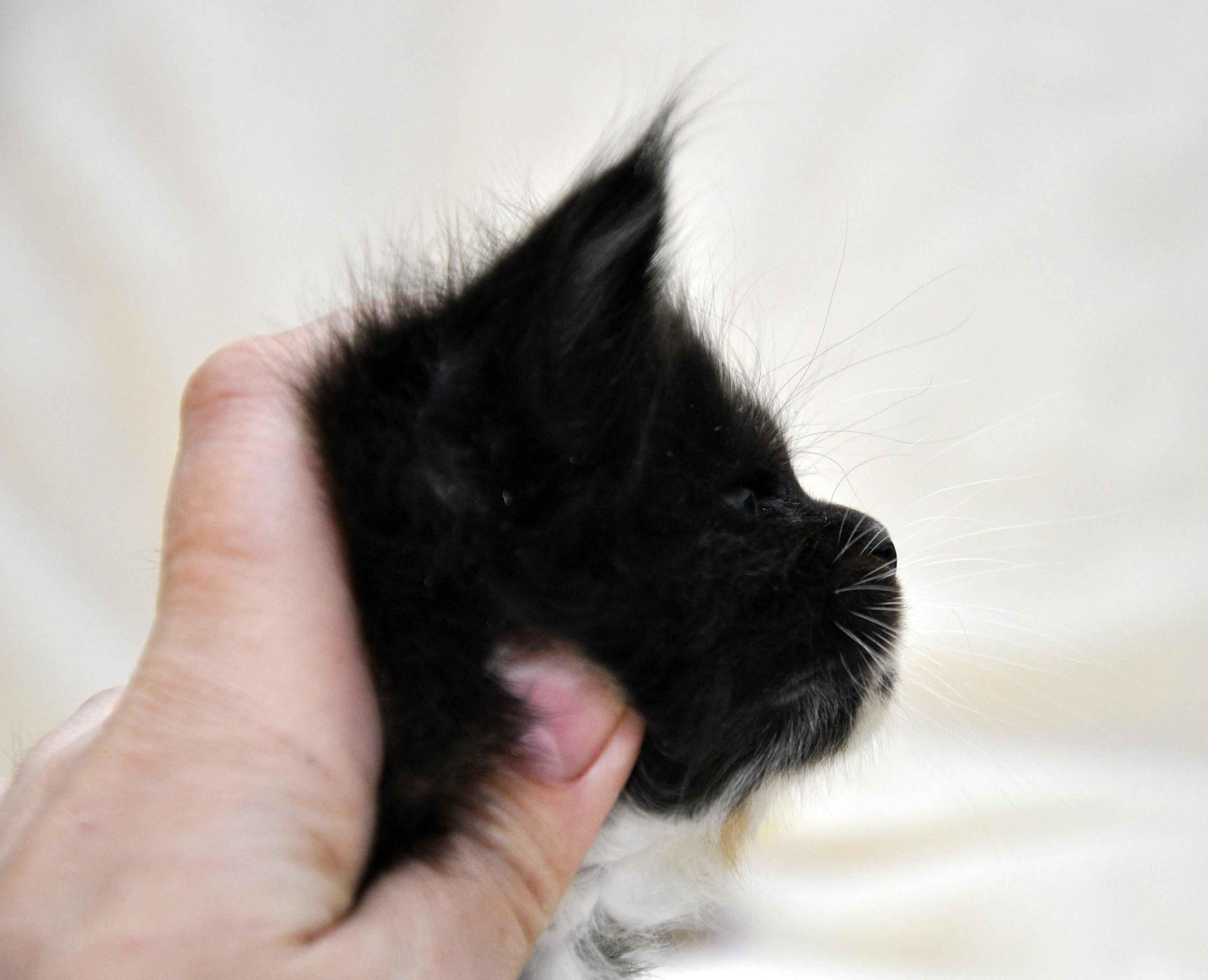Кошка Maine Coon 2 litter L 3 недели фото 6