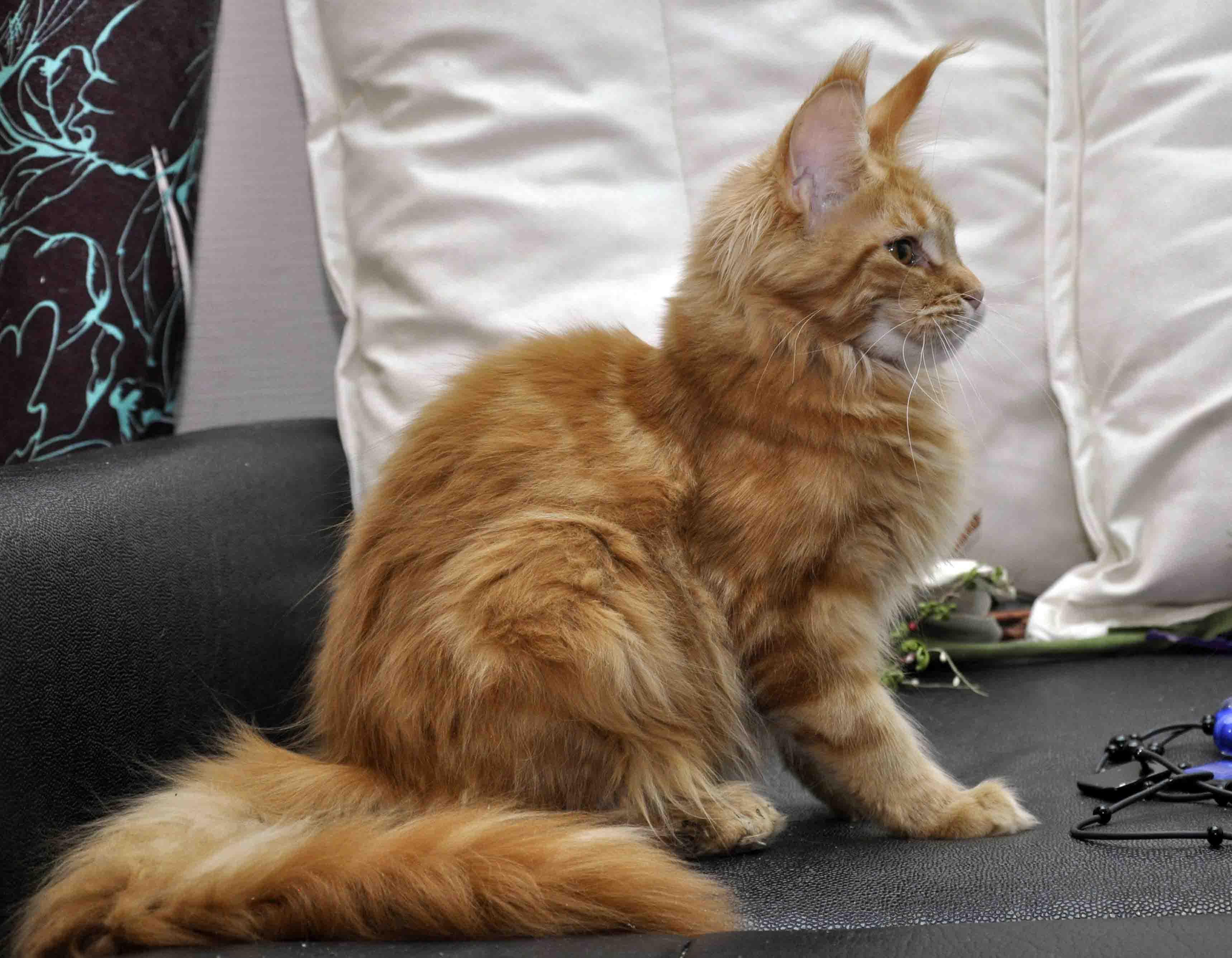 Кошка Maine Coon Eyktan KITANA.